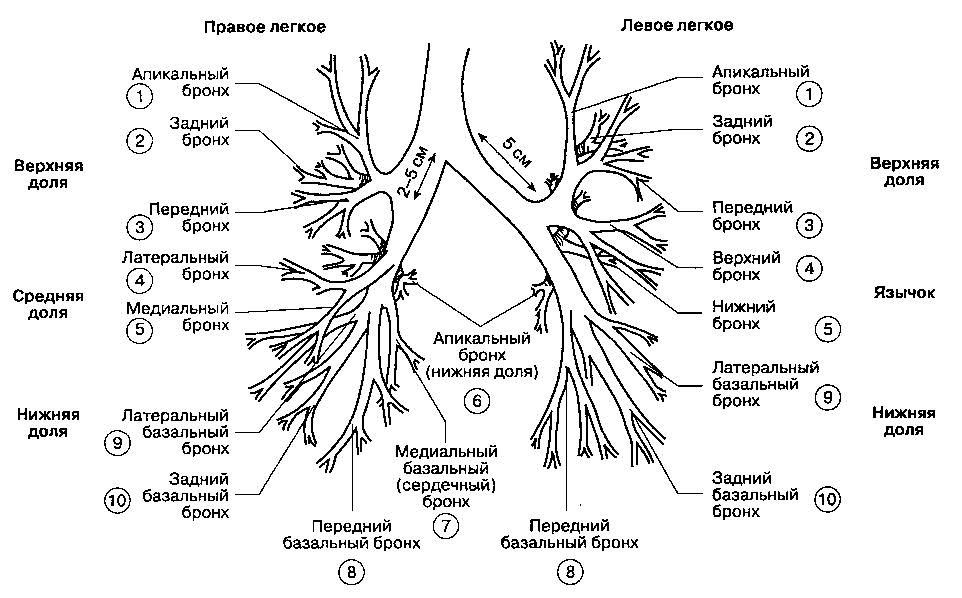 Схема бронхиальное дерево.